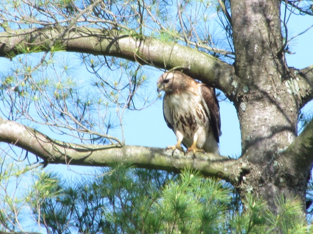 Hawk in Norfolk