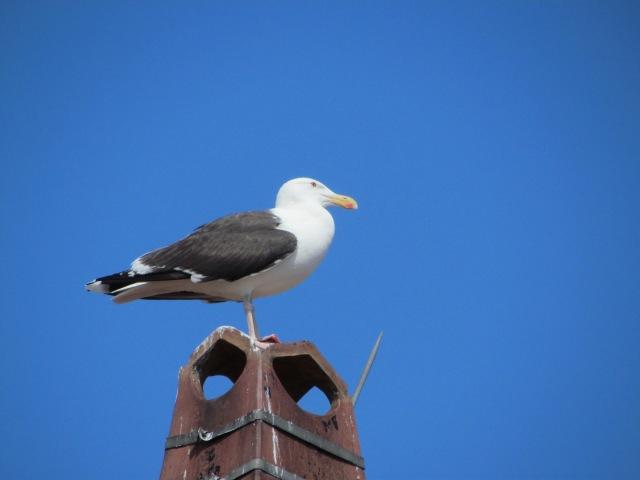 Gloucester gull