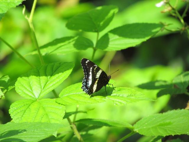 Pemi Butterfly