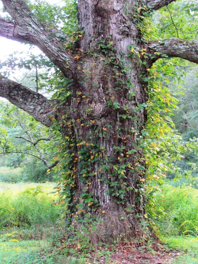 Millis Oak 2