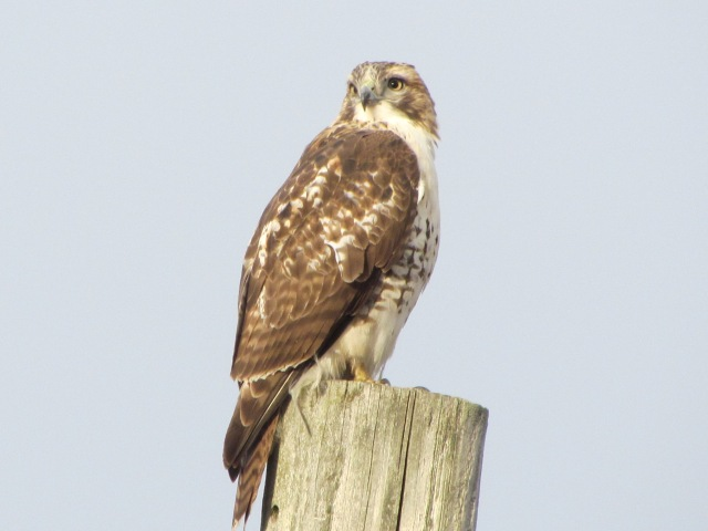 Hawk on pole 2
