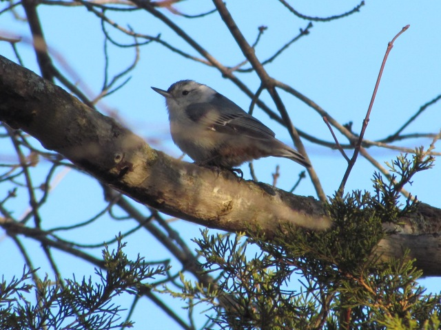 nuthatch maybe