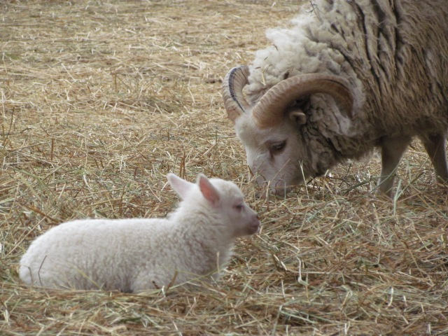 parent and baby sheep