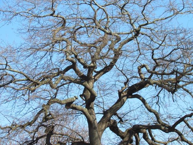 salem tree