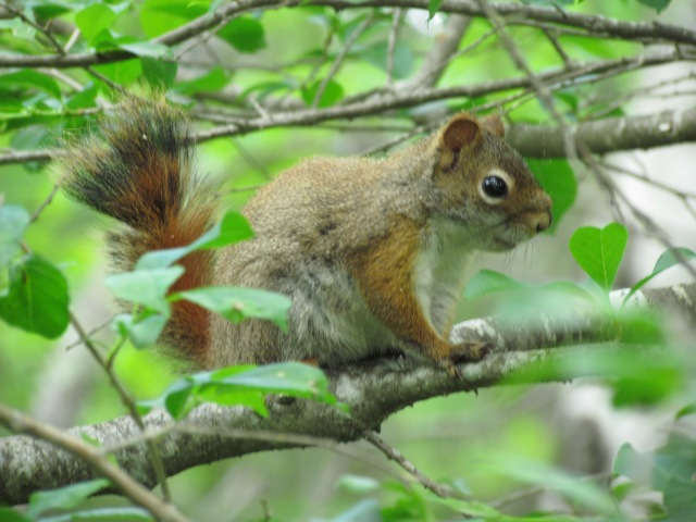 acadia red squirrel