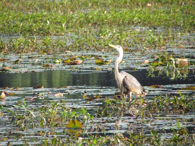 great meadows heron 2