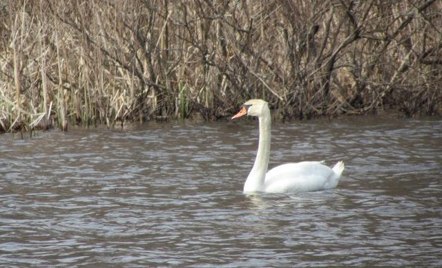 swan may 15