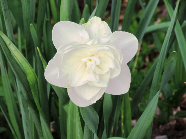 white double tuli