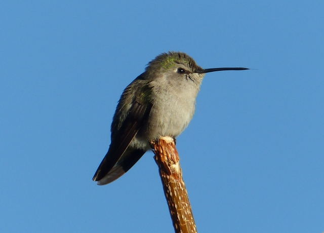 female black bellied hummingbird