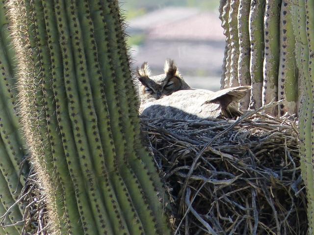 horned owl in cactus