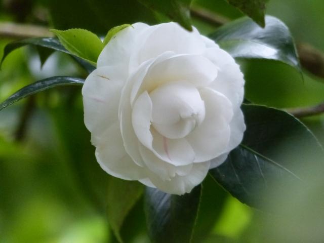 canto camellia