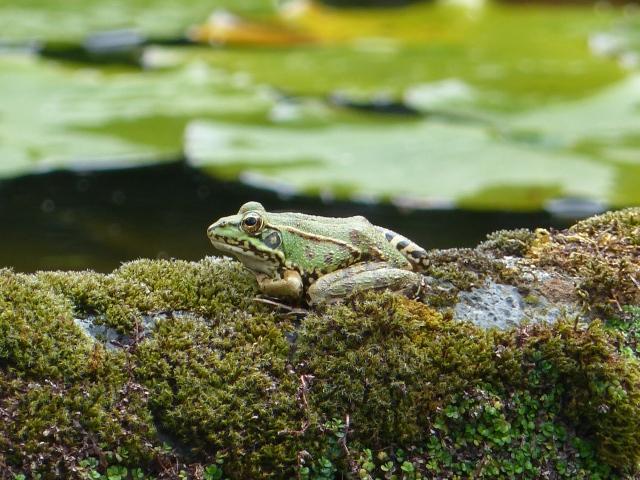 gorreana toad