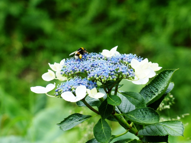 hydrangea bee