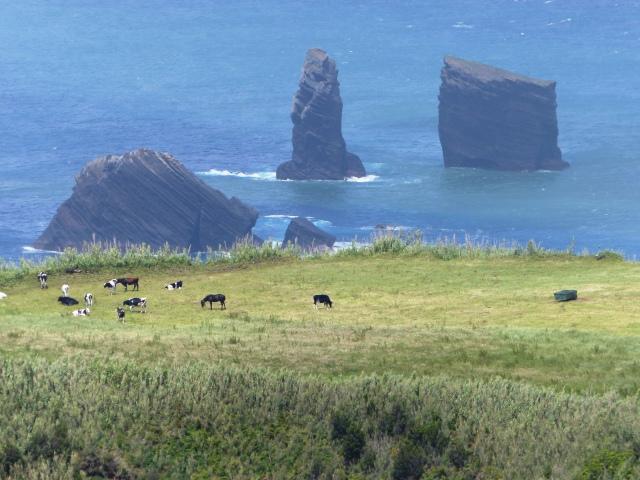 mosteiros cows