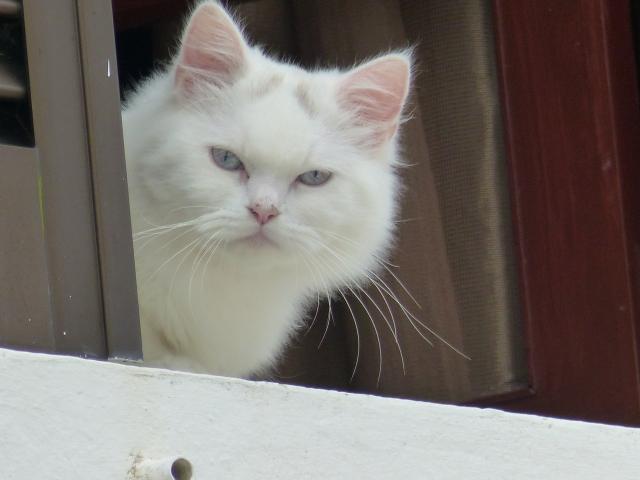 portuguese kitty